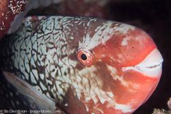 BD-130710-Maldives-0108-Scarus-rubroviolaceus.-Bleeker.-1847-[Ember-parrotfish].jpg